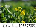 菜の花 春 花の写真 40687565