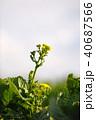 菜の花 春 花の写真 40687566