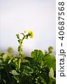 菜の花 春 花の写真 40687568
