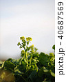 菜の花 春 花の写真 40687569