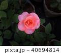 White Pink Rose 40694814
