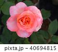 White Pink Rose 40694815