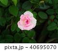 White Pink Rose 40695070