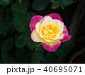Yellow Pink Rose Blooming 40695071