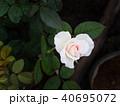 White Pink Rose 40695072