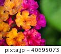 Hedge Flower Buds 40695073