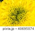 Yellow Marigold Blooming 40695074