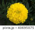 Yellow Marigold Blooming 40695075