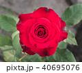 Red Rose Blooming 40695076