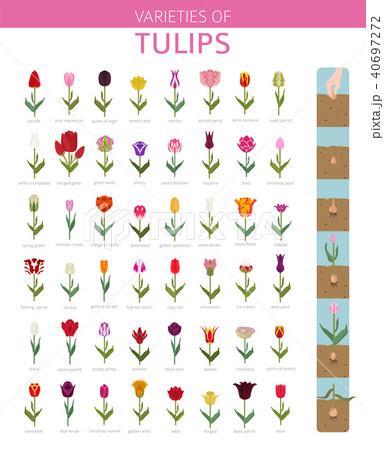 Tulip varieties flat icon set. Garden infographic 40697272