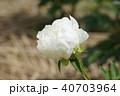 芍薬・白雪姫 40703964
