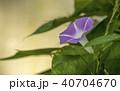 朝顔 植物 夏の写真 40704670