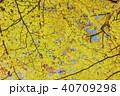 イチョウの黄葉 40709298