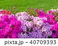 春 つつじ サツキの写真 40709393