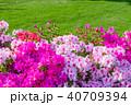 春 つつじ サツキの写真 40709394