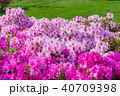 春 つつじ サツキの写真 40709398