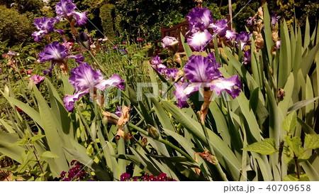 青色のジャーマンアイリスの大きい花 40709658