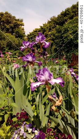 青色のジャーマンアイリスの大きい花 40709661