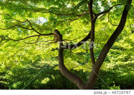 新緑の楓 40710797