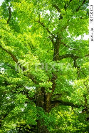イチョウの巨樹 40710818