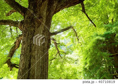 大きなイチョウの木 40710819