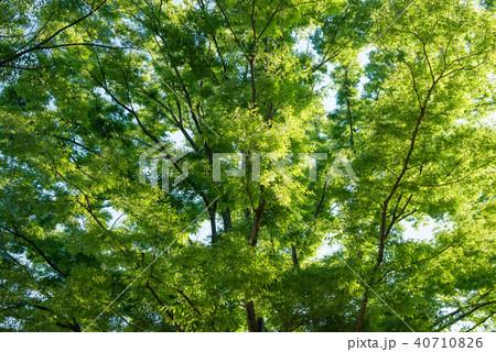 新緑の木 40710826