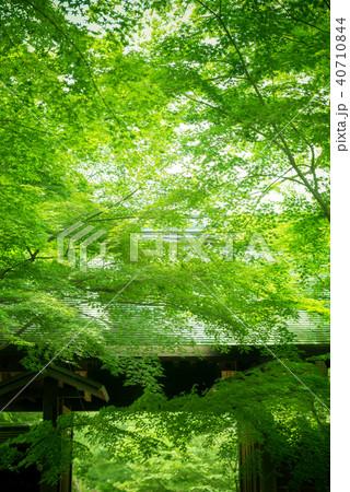 新緑の楓と日本の建築 40710844
