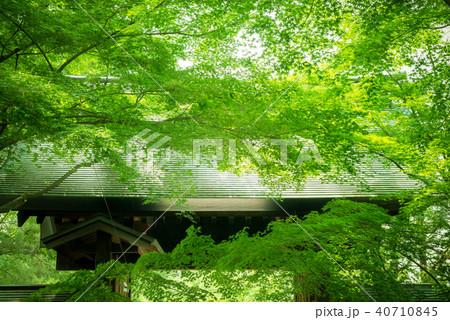 新緑の楓と日本の建築 40710845