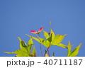 青モミジに出来たブーメランのような種子 40711187