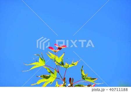 青モミジに出来たブーメランのような種子 40711188
