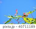 青モミジに出来たブーメランのような種子 40711189
