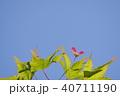 青モミジに出来たブーメランのような種子 40711190