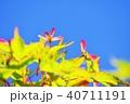 青モミジに出来たブーメランのような種子 40711191