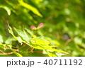 青モミジに出来たブーメランのような種子 40711192