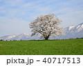 桜 一本桜 エドヒガンの写真 40717513