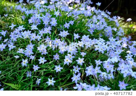 ハナニラの可愛い花が咲く 40717782