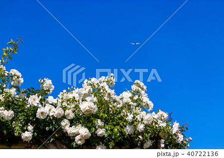 春に咲く白いバラ 40722136