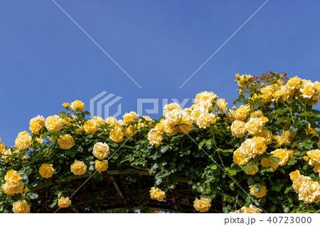 春に咲く黄色いバラ 40723000