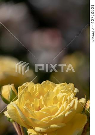 春に咲く黄色いバラ 40723001