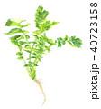 水彩画 大根 間引き菜のイラスト 40723158