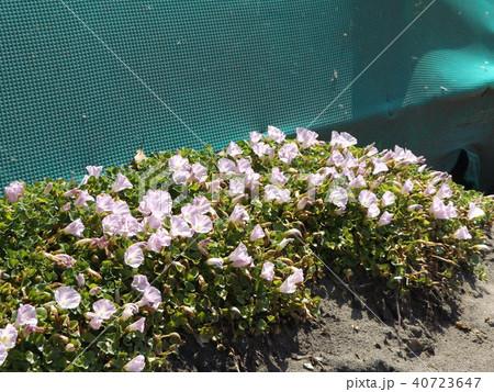 検見川浜に綺麗に咲いたハマヒルガオ 40723647