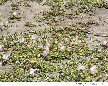 検見川浜に綺麗に咲いたハマヒルガオ 40723648