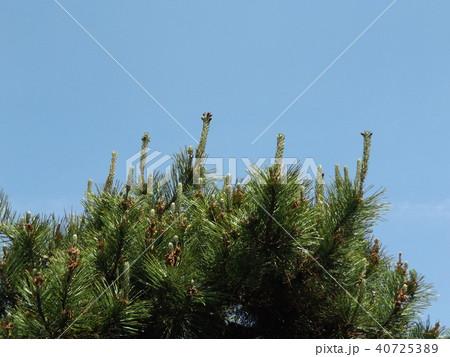 アルパカやリャマのノ様に見えるクロマツの雌花 40725389
