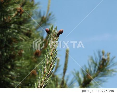 アルパカやリャマのノ様に見えるクロマツの雌花 40725390