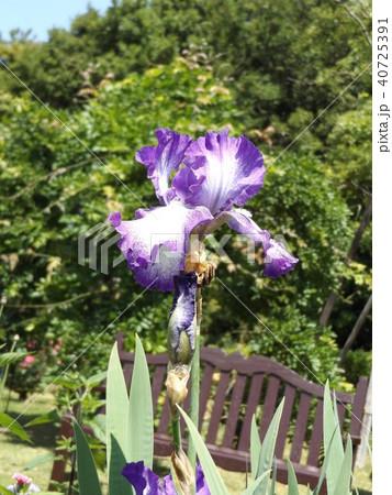 青色と空色のジャーマンアイリスの花 40725391