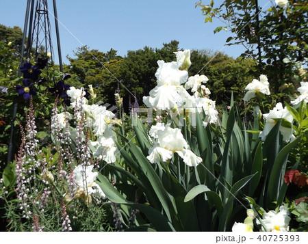 白色のジャーマンアイリスの花 40725393