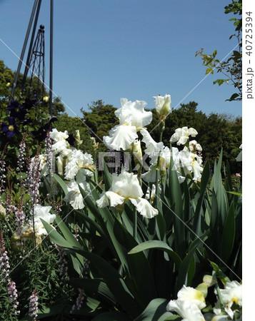 白色のジャーマンアイリスの花 40725394