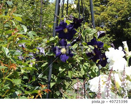 蔓性植物のクレマチスの濃い青色の花 40725396