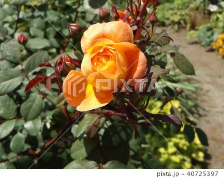 オレンジ色のバラの花 40725397