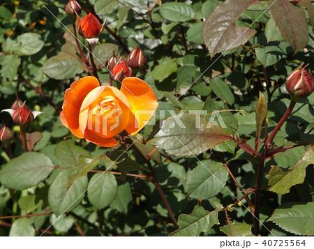 オレンジ色のバラの花 40725564